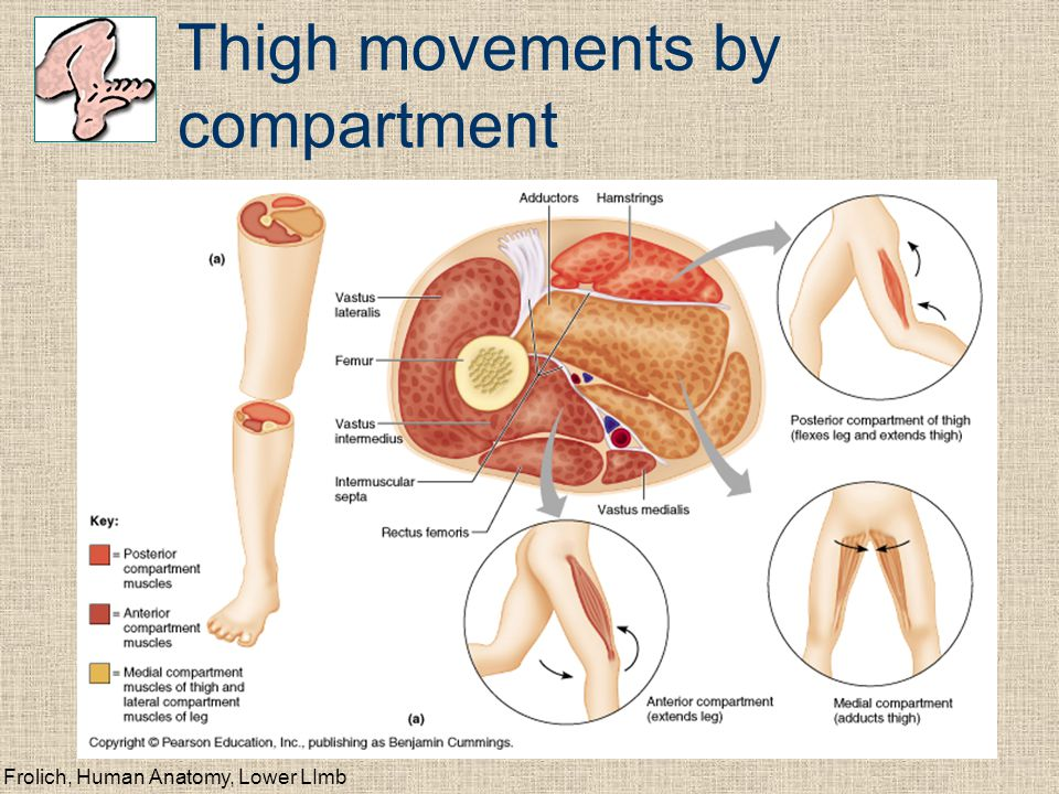Frolich, Human Anatomy, Lower LImb Thigh movements by compartment