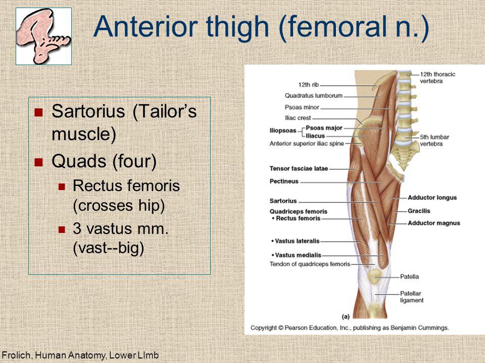Frolich, Human Anatomy, Lower LImb Anterior thigh (femoral n.) Sartorius (Tailor's muscle) Quads (four) Rectus femoris (crosses hip) 3 vastus mm. (vas