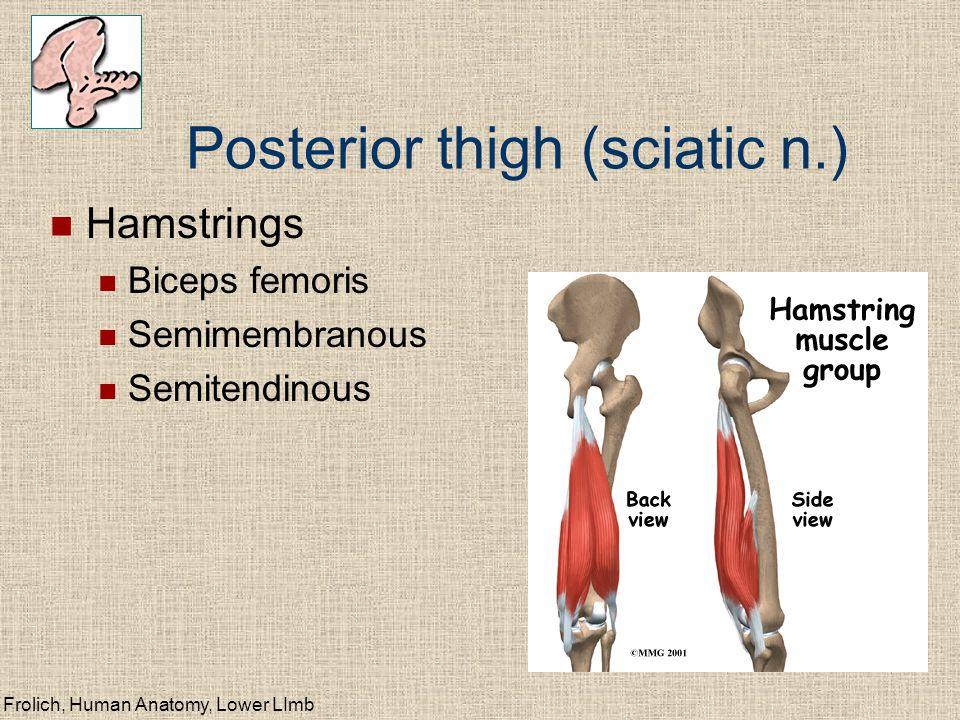 Frolich, Human Anatomy, Lower LImb Posterior thigh (sciatic n.) Hamstrings Biceps femoris Semimembranous Semitendinous