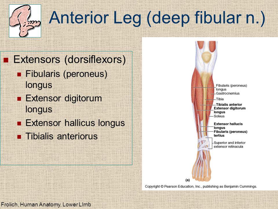 Frolich, Human Anatomy, Lower LImb Anterior Leg (deep fibular n.) Extensors (dorsiflexors) Fibularis (peroneus) longus Extensor digitorum longus Exten