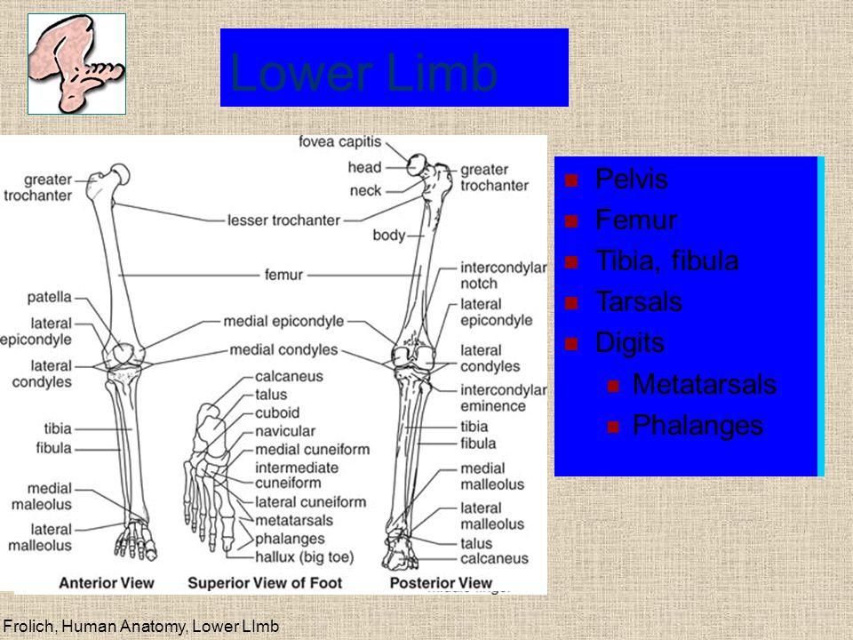 Frolich, Human Anatomy, Lower LImb Bony structure of the pelvis MAIN STRUCTURES Hip bone (innominate, os coxae)--fusion of Ilium ( hips ) Ischium ( rear ) Pubis (anterior midline) Sacrum and coccyx Acetabulum Femur--head, neck, greater trochanter HOLES False and true pelvis (major, minor pelvis) Pelvic inlet, pelvic outlet Sacrotuberous ligament Sacrospinous ligament Greater, lesser sciatic foramen Obturator foramen