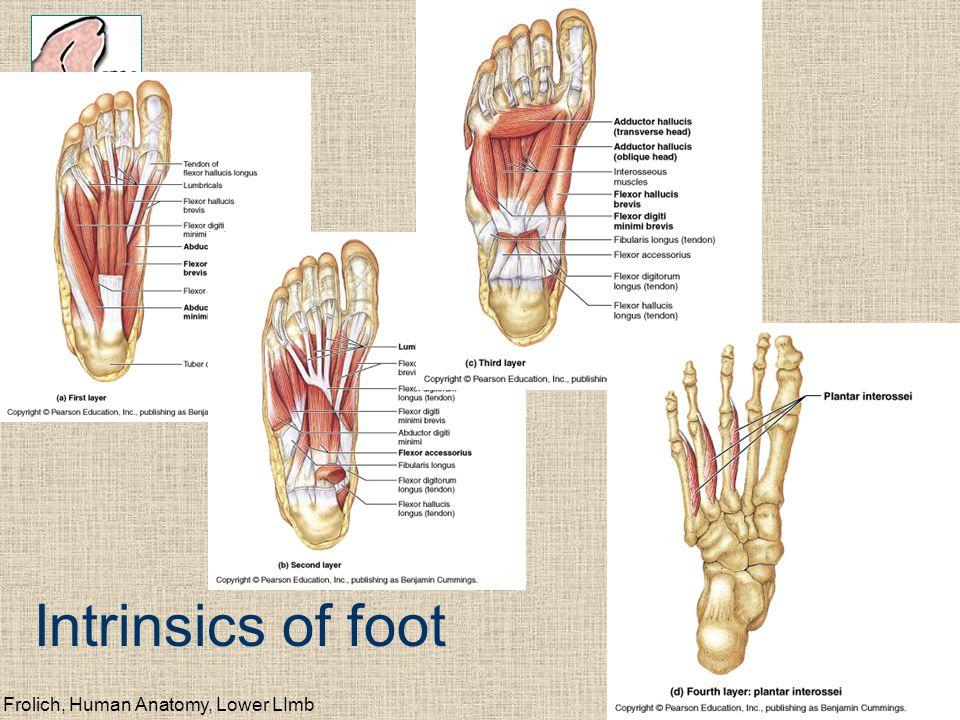 Frolich, Human Anatomy, Lower LImb Intrinsics of foot