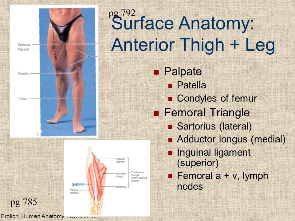 Frolich, Human Anatomy, Lower LImb Surface Anatomy: Anterior Thigh + Leg Palpate Patella Condyles of femur Femoral Triangle Sartorius (lateral) Adduct