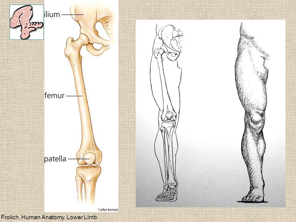 Tibia/fibula Tibia--big toe side Fibula--little toe side (no pronation/supination)