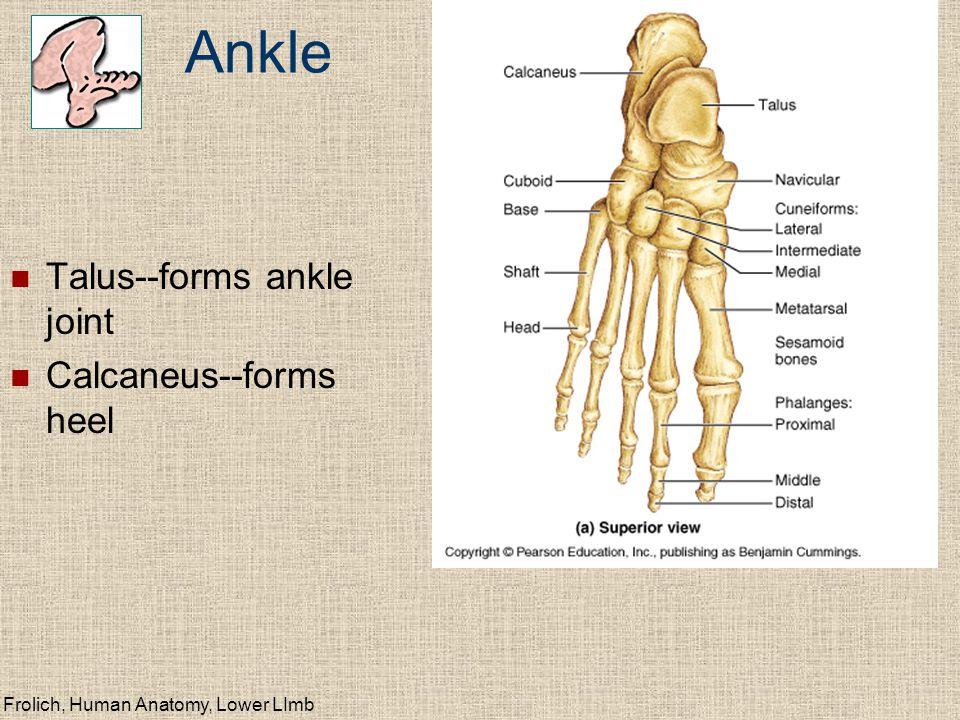 Frolich, Human Anatomy, Lower LImb Anterior Leg (deep fibular n.) Extensors (dorsiflexors) Fibularis (peroneus) longus Extensor digitorum longus Extensor hallicus longus Tibialis anteriorus