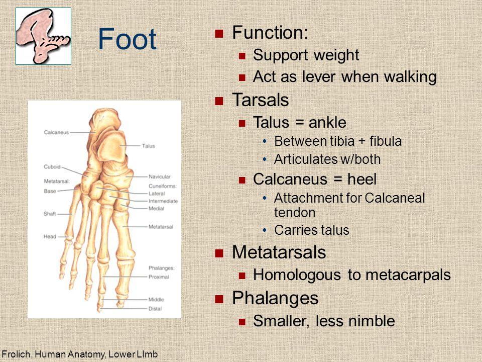 Frolich, Human Anatomy, Lower LImb Joints of Lower Limb Hip (femur + acetabulum) Ball + socket Multiaxial Synovial Knee (femur + patella) Plane Gliding of patella Synovial Knee (femur + tibia) Hinge Biaxial Synovial