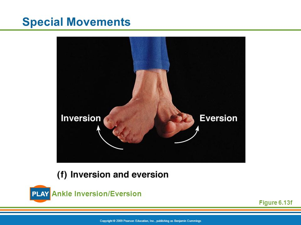 Copyright © 2009 Pearson Education, Inc., publishing as Benjamin Cummings Special Movements Ankle Inversion/Eversion PLAY Figure 6.13f