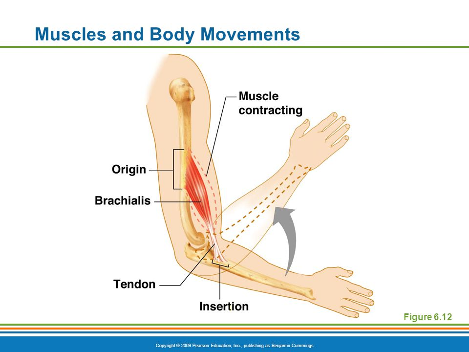 Copyright © 2009 Pearson Education, Inc., publishing as Benjamin Cummings Muscles and Body Movements Figure 6.12