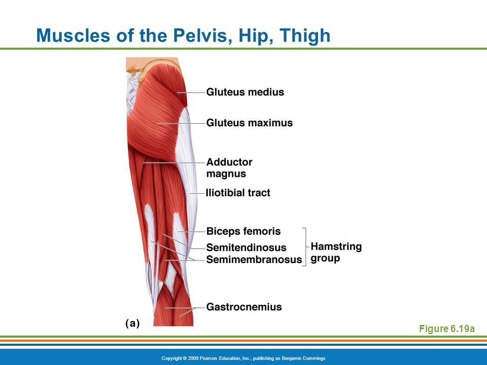 Copyright © 2009 Pearson Education, Inc., publishing as Benjamin Cummings Muscles of the Pelvis, Hip, Thigh Figure 6.19a