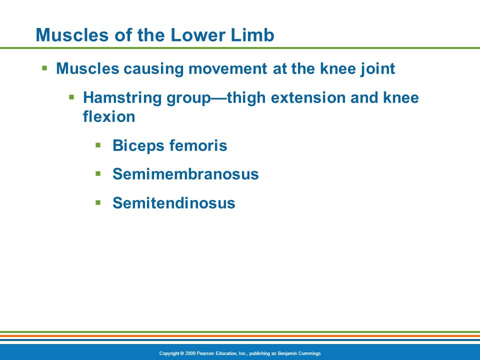 Copyright © 2009 Pearson Education, Inc., publishing as Benjamin Cummings Muscles of the Lower Limb  Muscles causing movement at the knee joint  Ham