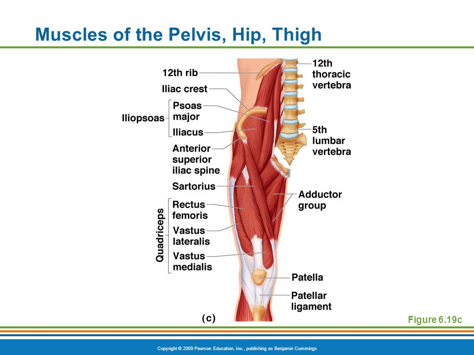 Copyright © 2009 Pearson Education, Inc., publishing as Benjamin Cummings Muscles of the Pelvis, Hip, Thigh Figure 6.19c