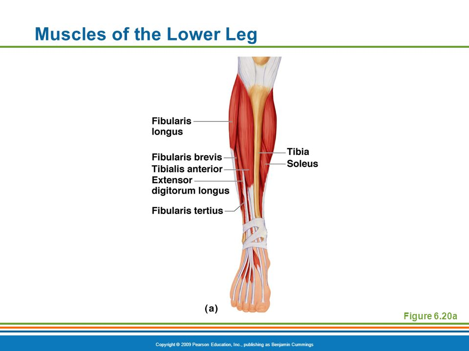 Copyright © 2009 Pearson Education, Inc., publishing as Benjamin Cummings Muscles of the Lower Leg Figure 6.20a