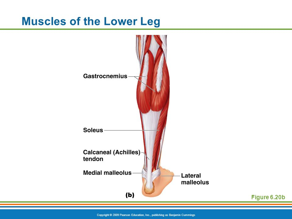 Copyright © 2009 Pearson Education, Inc., publishing as Benjamin Cummings Muscles of the Lower Leg Figure 6.20b