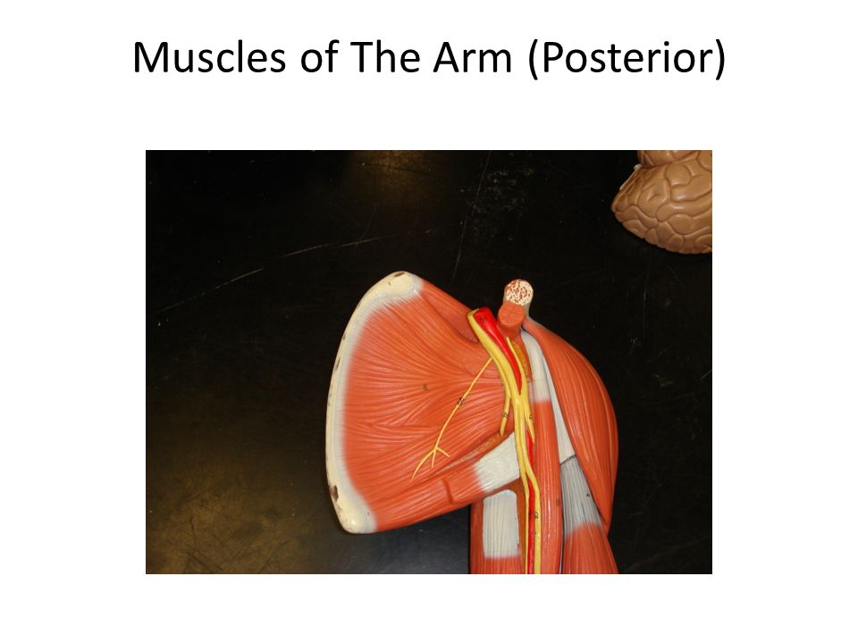 Muscles of The Arm (Posterior)
