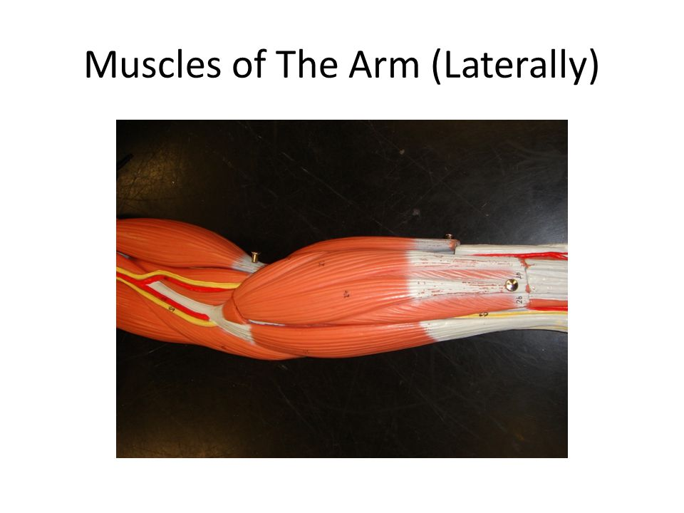 Muscles of The Arm (Laterally)