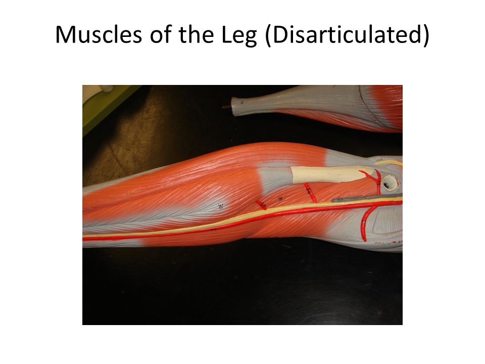 Muscles of the Leg (Disarticulated)