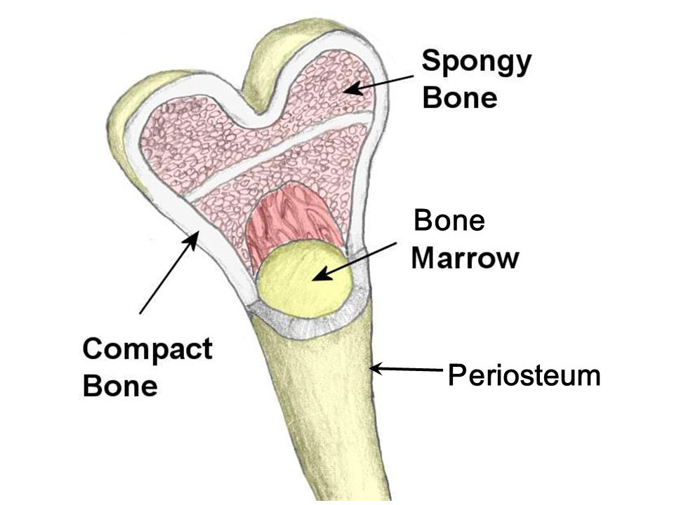 Mineral Structure of Bone Calcium (about 99% of all body calcium is in bones and teeth) Phosphorus Magnesium (about 70% of all body magnesium is in bone) Note: These are all elements on the Periodic Table of the Elements