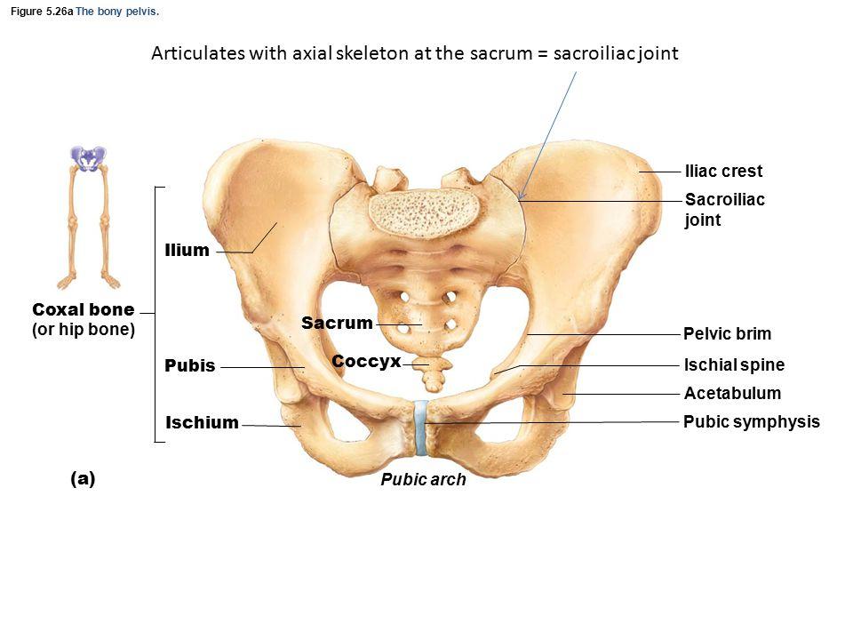 Figure 5.26a The bony pelvis.