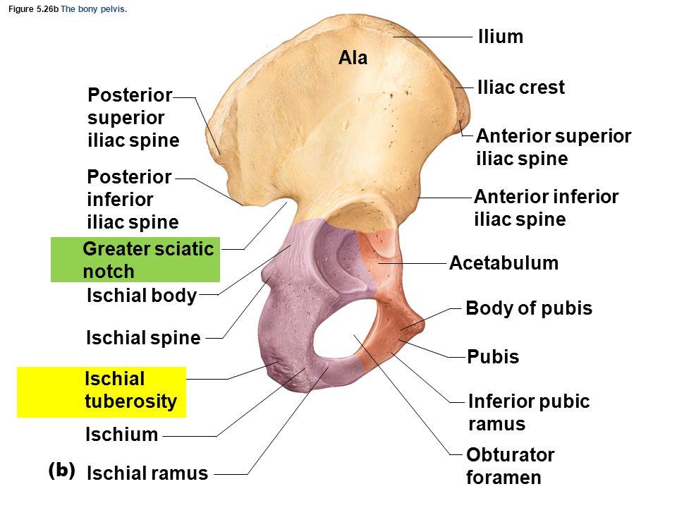 Figure 5.26b The bony pelvis.