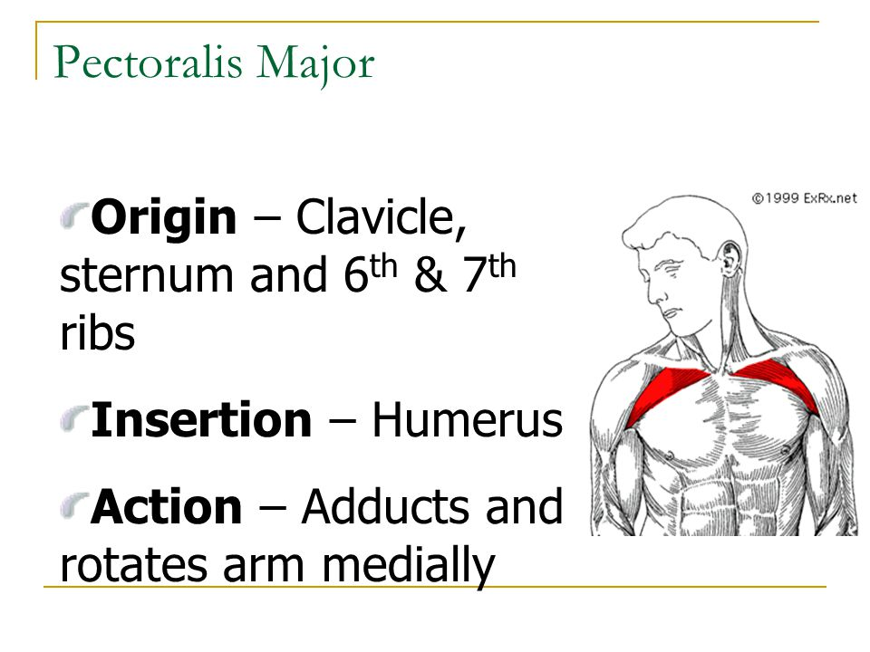 Pectoralis Major Origin – Clavicle, sternum and 6 th & 7 th ribs Insertion – Humerus Action – Adducts and rotates arm medially