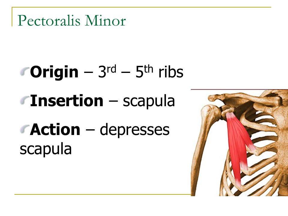 Pectoralis Minor Origin – 3 rd – 5 th ribs Insertion – scapula Action – depresses scapula
