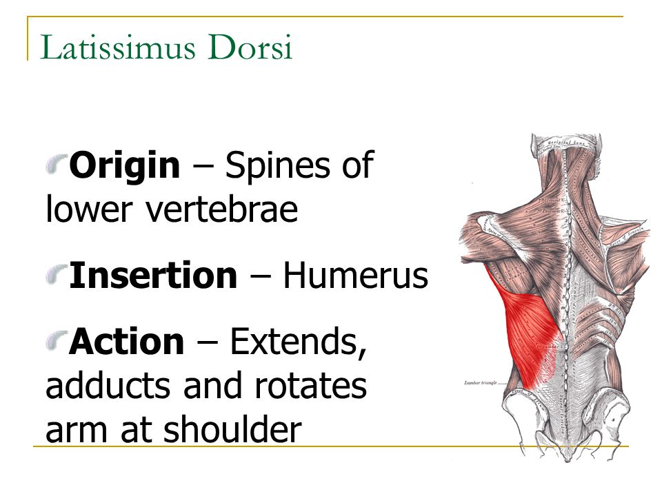 Latissimus Dorsi Origin – Spines of lower vertebrae Insertion – Humerus Action – Extends, adducts and rotates arm at shoulder