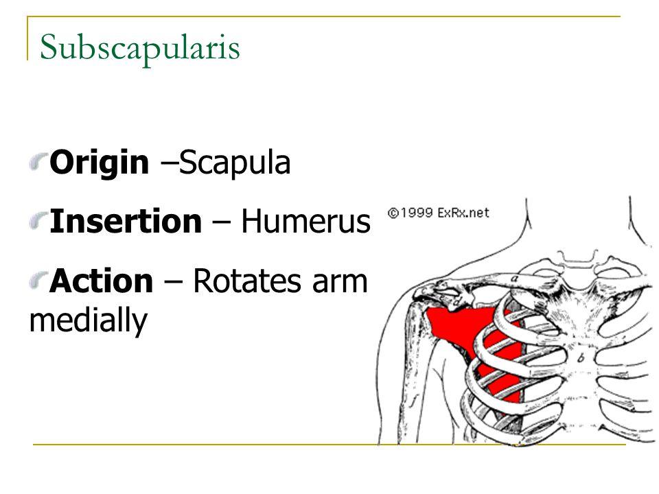 Subscapularis Origin –Scapula Insertion – Humerus Action – Rotates arm medially