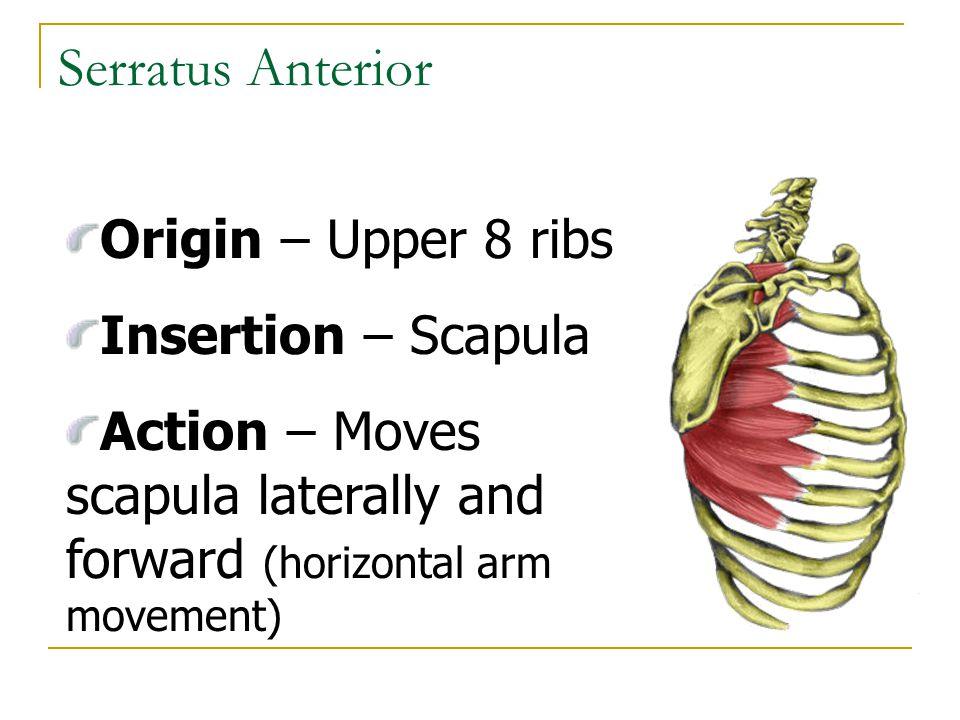Serratus Anterior Origin – Upper 8 ribs Insertion – Scapula Action – Moves scapula laterally and forward (horizontal arm movement)