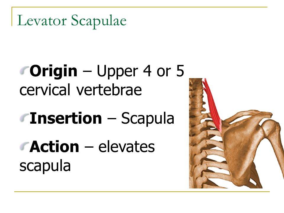 Levator Scapulae Origin – Upper 4 or 5 cervical vertebrae Insertion – Scapula Action – elevates scapula
