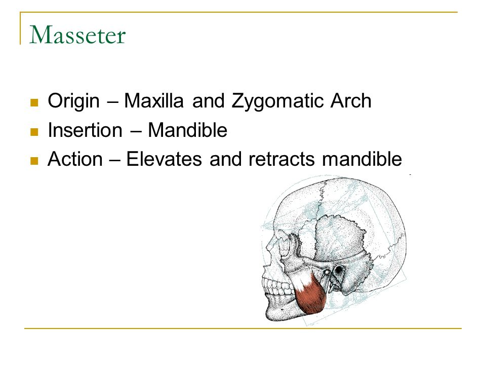 Masseter Origin – Maxilla and Zygomatic Arch Insertion – Mandible Action – Elevates and retracts mandible