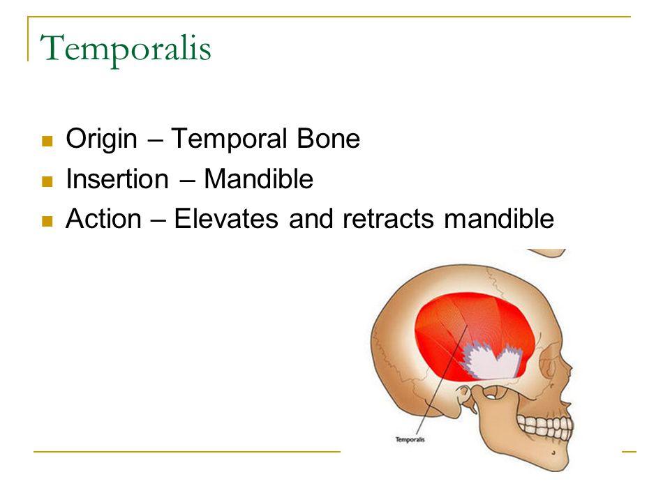 Temporalis Origin – Temporal Bone Insertion – Mandible Action – Elevates and retracts mandible