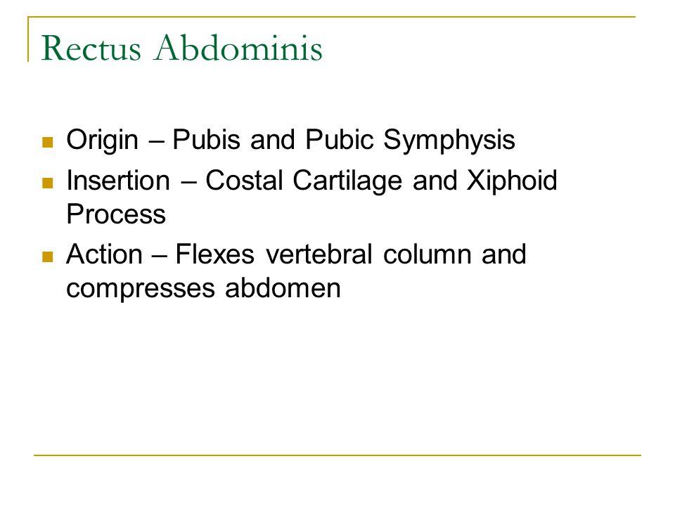 Origin – Pubis and Pubic Symphysis Insertion – Costal Cartilage and Xiphoid Process Action – Flexes vertebral column and compresses abdomen Rectus Abd