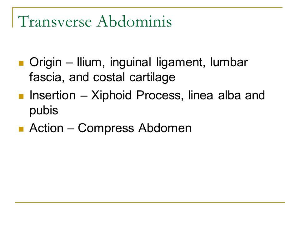 Origin – Ilium, inguinal ligament, lumbar fascia, and costal cartilage Insertion – Xiphoid Process, linea alba and pubis Action – Compress Abdomen Tra