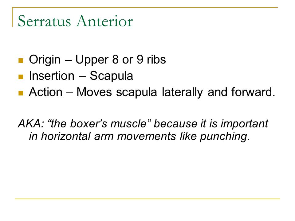 """Origin – Upper 8 or 9 ribs Insertion – Scapula Action – Moves scapula laterally and forward. AKA: """"the boxer's muscle"""" because it is important in hori"""