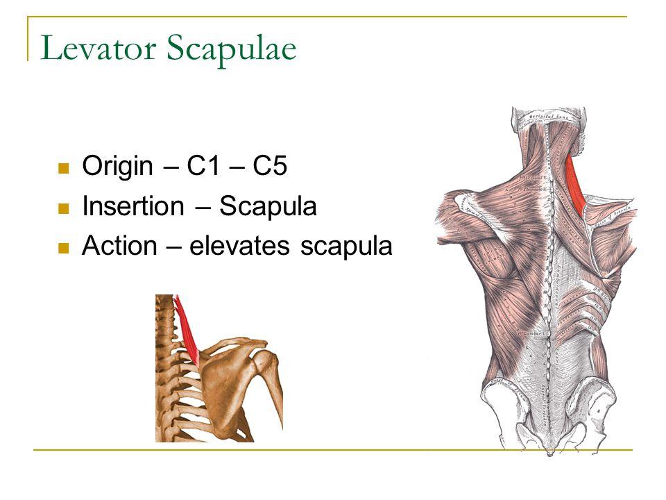 Origin – C1 – C5 Insertion – Scapula Action – elevates scapula Levator Scapulae