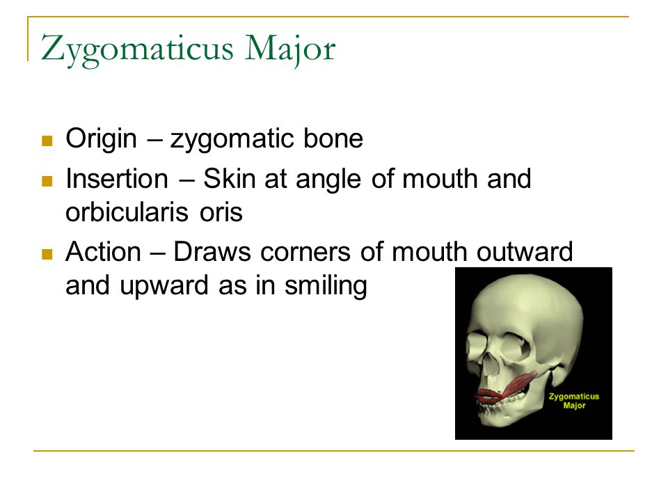 Buccinator Origin – Maxilla and Mandible Insertion – Orbicularis Oris Action – presses cheeks against teeth and lips, as in whistling; draws corner of mouth laterally, assists in chewing be keeping food between teeth