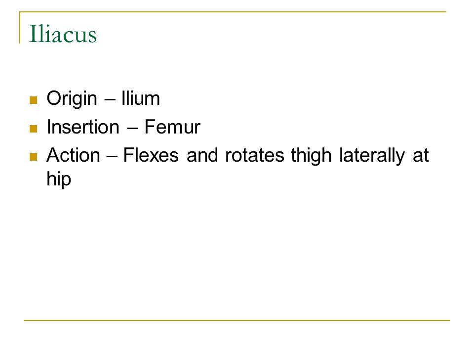 Iliacus Origin – Ilium Insertion – Femur Action – Flexes and rotates thigh laterally at hip