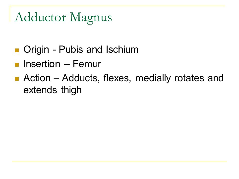 Adductor Magnus Origin - Pubis and Ischium Insertion – Femur Action – Adducts, flexes, medially rotates and extends thigh