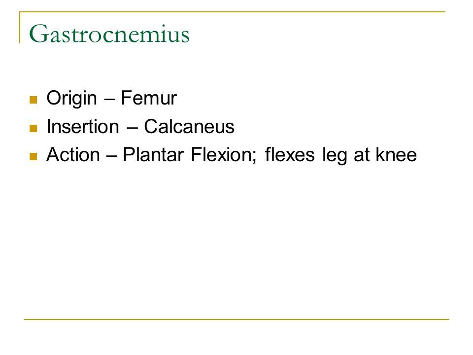 Gastrocnemius Origin – Femur Insertion – Calcaneus Action – Plantar Flexion; flexes leg at knee