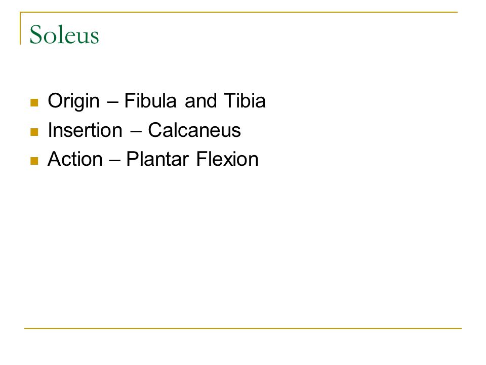 Soleus Origin – Fibula and Tibia Insertion – Calcaneus Action – Plantar Flexion