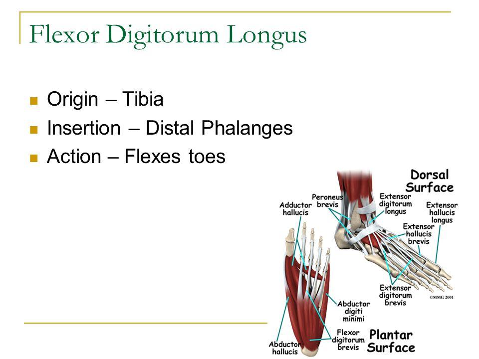 Flexor Digitorum Longus Origin – Tibia Insertion – Distal Phalanges Action – Flexes toes