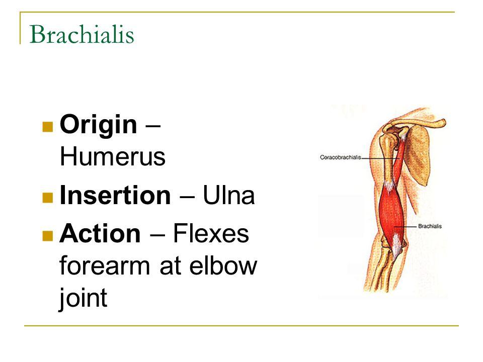 Brachialis Origin – Humerus Insertion – Ulna Action – Flexes forearm at elbow joint