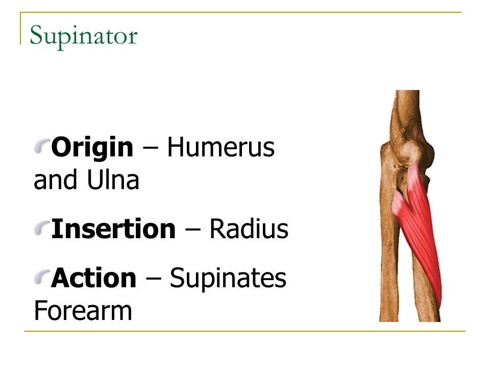 Supinator Origin – Humerus and Ulna Insertion – Radius Action – Supinates Forearm