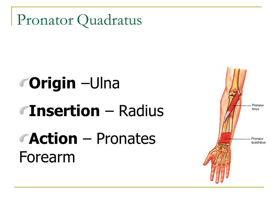Pronator Quadratus Origin –Ulna Insertion – Radius Action – Pronates Forearm