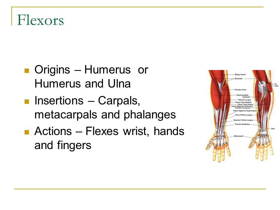 Flexors Origins – Humerus or Humerus and Ulna Insertions – Carpals, metacarpals and phalanges Actions – Flexes wrist, hands and fingers