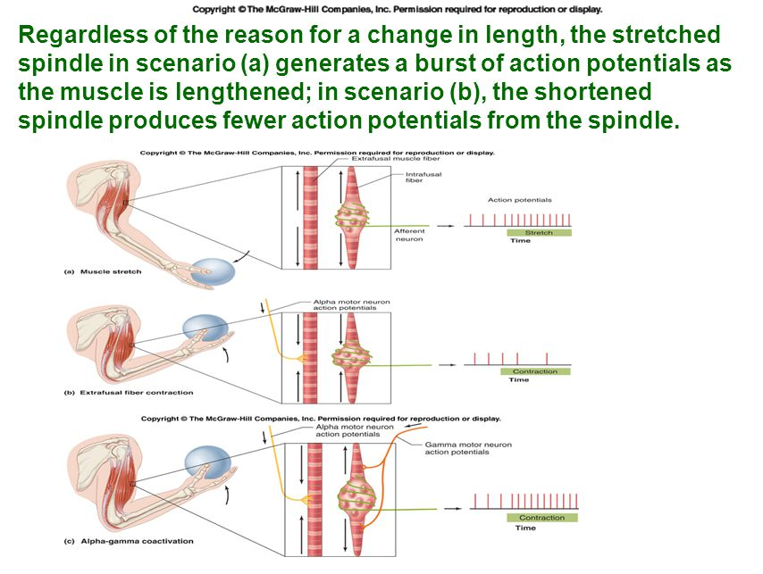 Tapping the patellar tendon lengthens the stretch receptor in the associated extensor muscle in the thigh; responses include: compensatory contraction in that muscle (A and C), relaxation in the opposing flexor (B), and sensory afferent delivery to the brain.