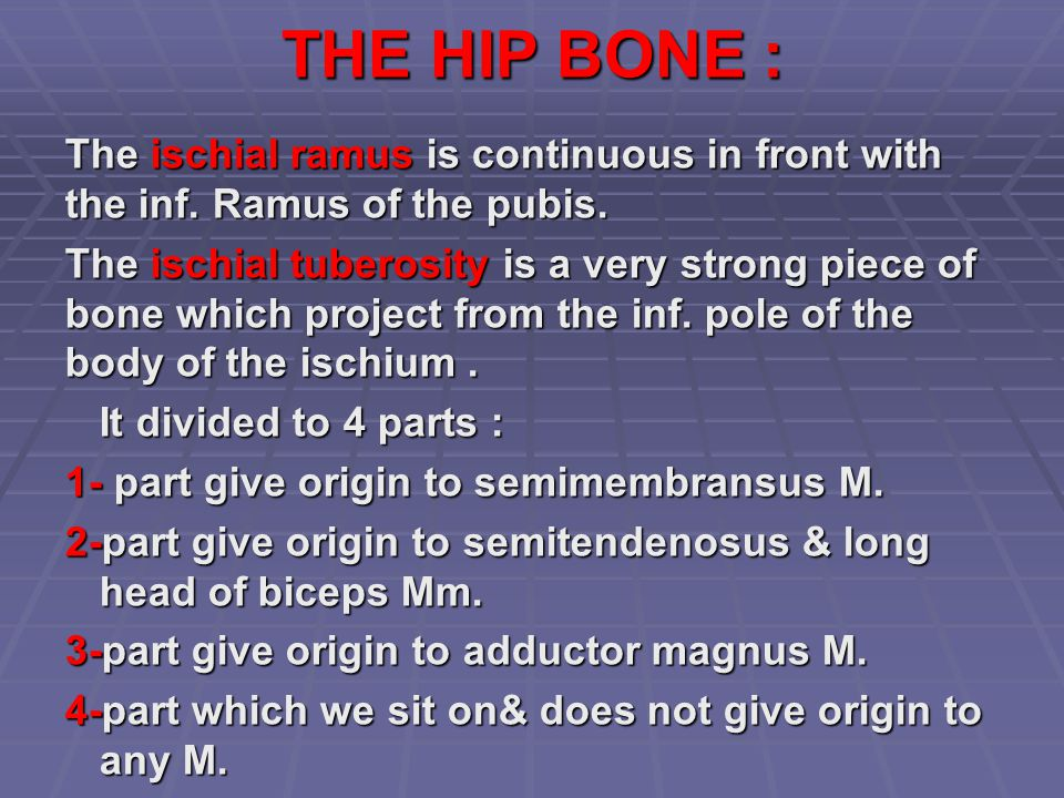 THE HIP BONE : The ischial ramus is continuous in front with the inf. Ramus of the pubis. The ischial tuberosity is a very strong piece of bone which