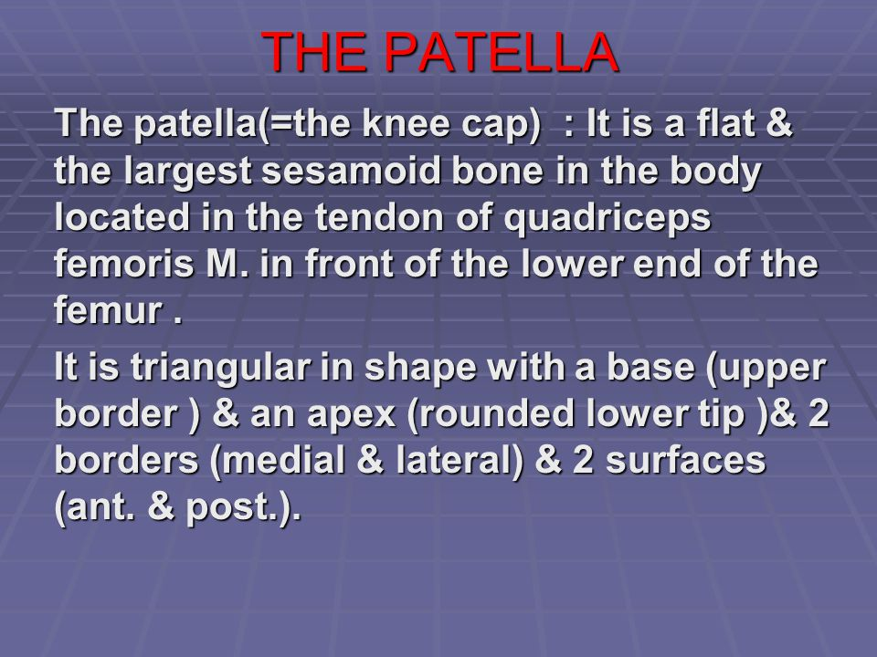 THE PATELLA The patella(=the knee cap) : It is a flat & the largest sesamoid bone in the body located in the tendon of quadriceps femoris M. in front