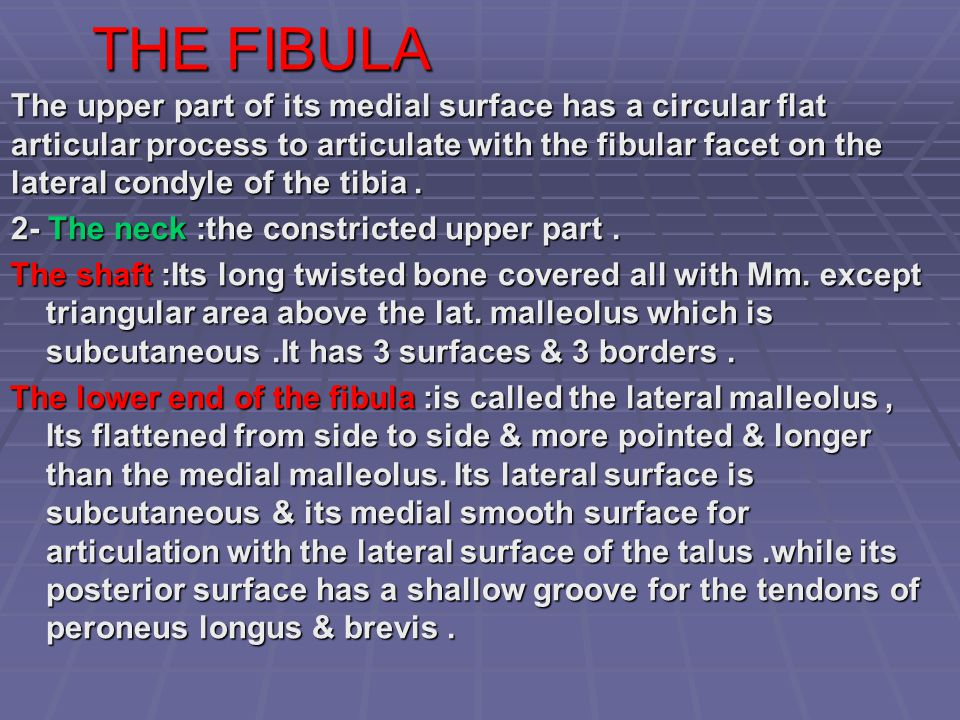THE FIBULA The upper part of its medial surface has a circular flat articular process to articulate with the fibular facet on the lateral condyle of t