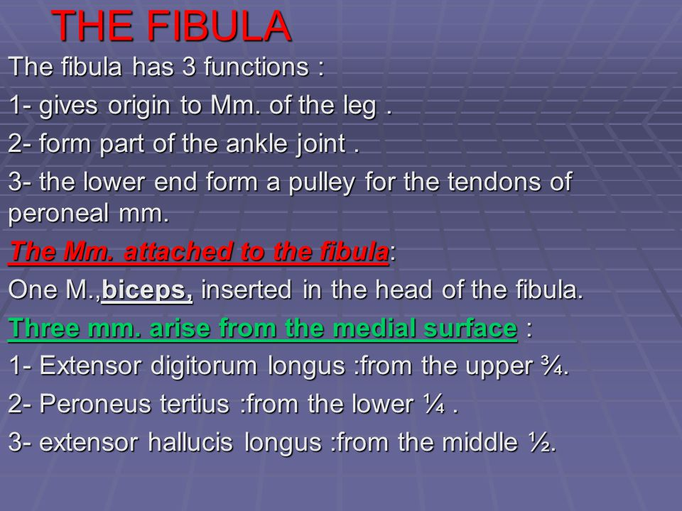 THE FIBULA The fibula has 3 functions : 1- gives origin to Mm. of the leg. 2- form part of the ankle joint. 3- the lower end form a pulley for the ten
